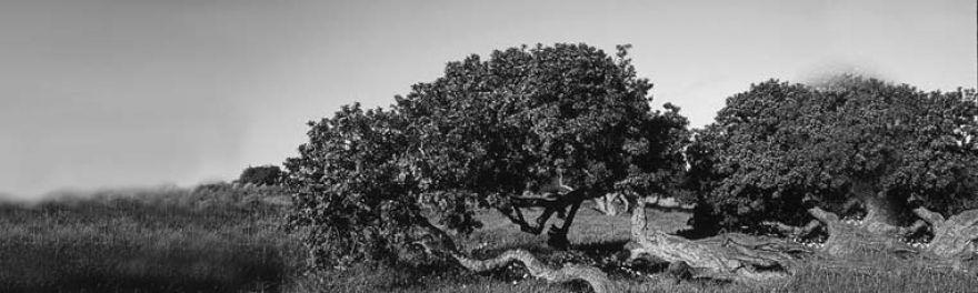 El árbol de Chios